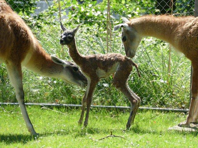 26-2019 guanako 2 Tage alt Opel-Zoo.jpg