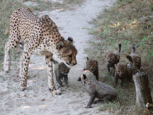 31-Gepard mit Jungtieren, Außenanlage.jpg