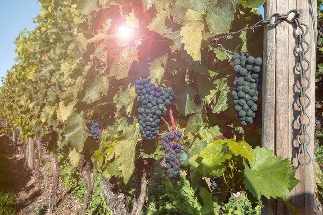 grapes-460518_1920_(1).jpg