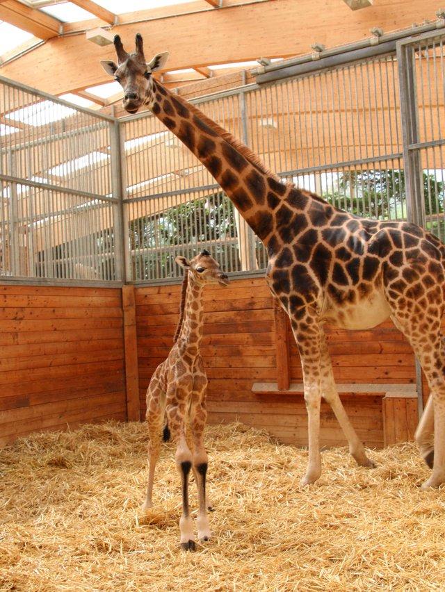 38-Giraffe-Jungtier,0d.jpg