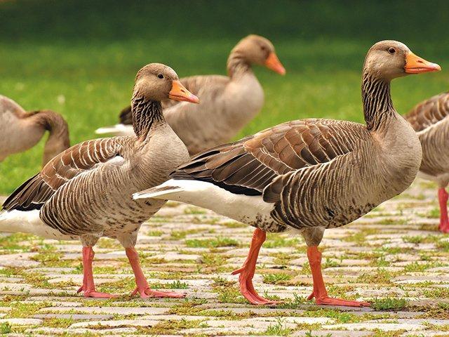 geese-3487734_1920.jpg