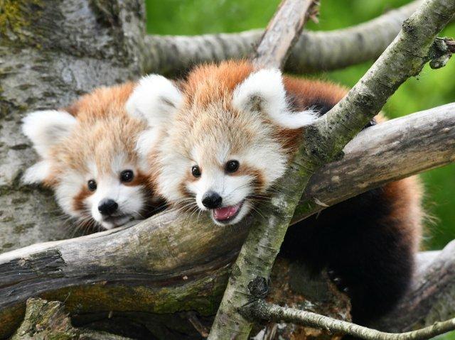 thumbnail_22-Roter Panda-juv-3 Monate alt_Opel-Zoo.jpg