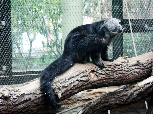 Binturong_Theo_2018_copyright_Zoo_Frankfurt.JPG