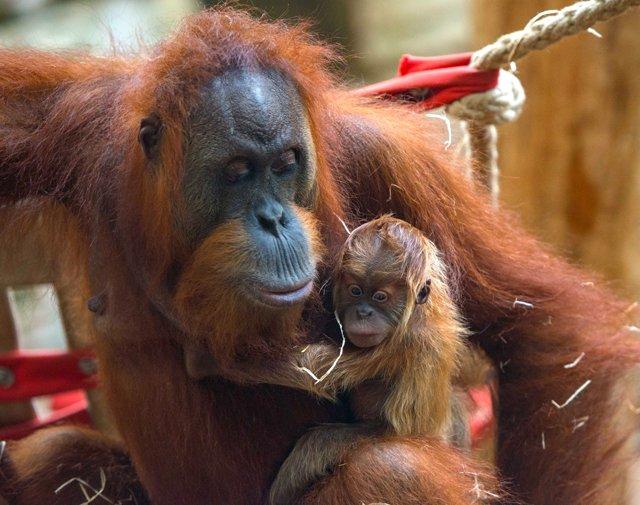 Orang-Utan_Rosa_copyright_Zoo_Frankfurt_Bernd_Kammerer.jpg