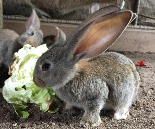 14-Kaninchen-Deutscher Rierse-juv.jpg